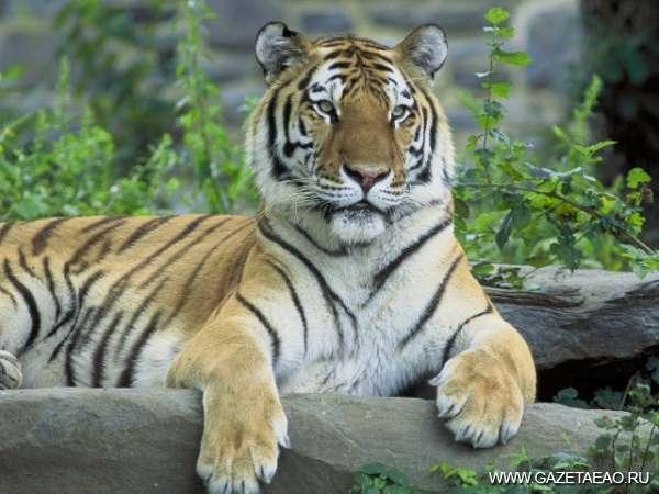 Тигры — на постоянном контроле