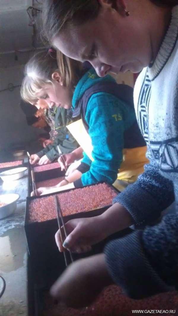Колыбель биджанского лосося - Переборка икры в инкубационном цехе