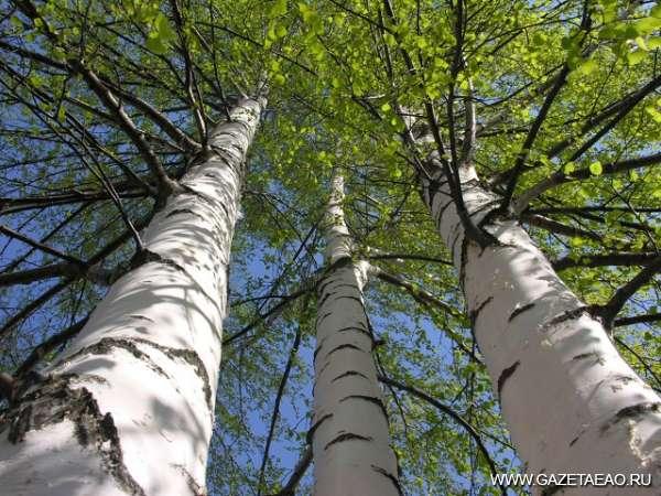 Эти уникальные деревья