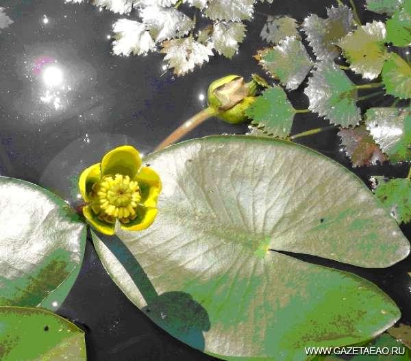 Зеленые водные жемчужины - Кубышка малая - уже исчезающий вид