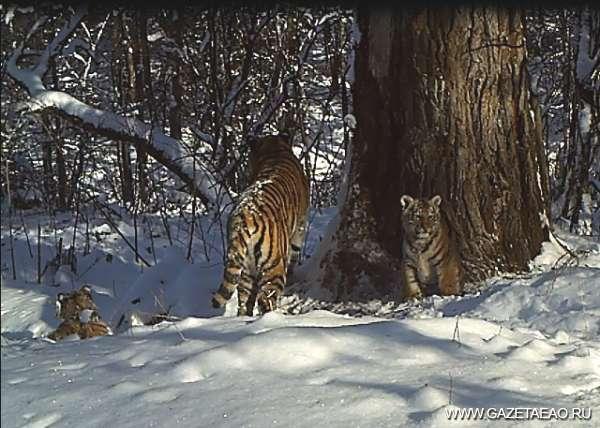 В семье тигров – прибавление - Кадр с фотоловушки – потомство Золушки и Странника