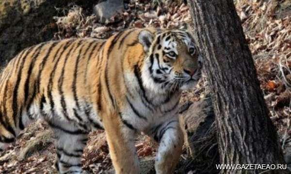 Все о тиграх