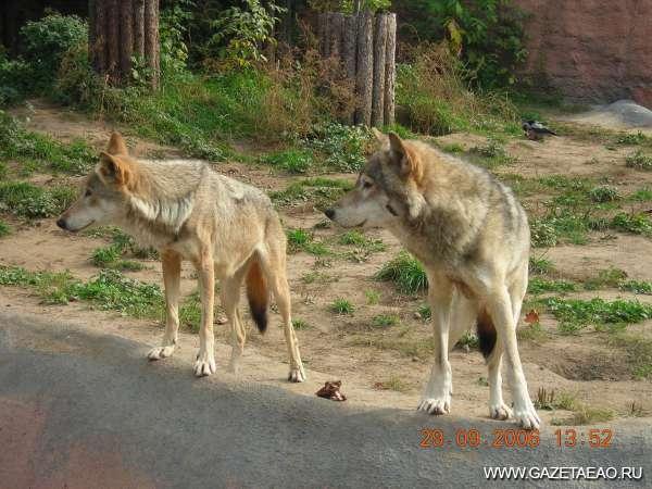 Летняя охота на волков