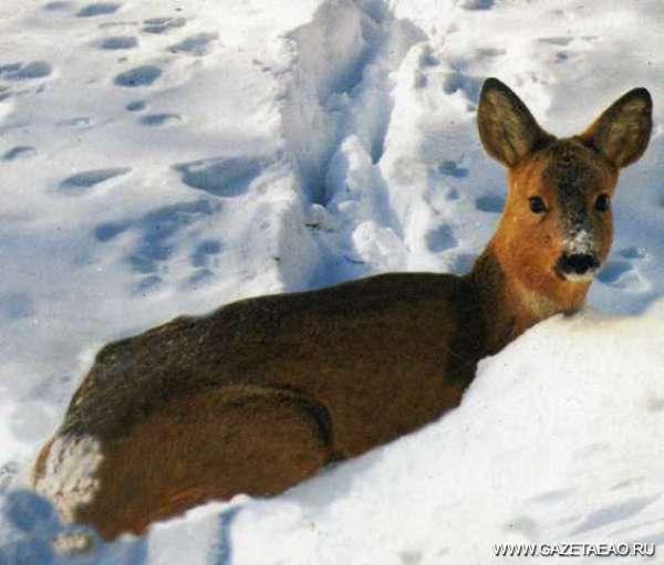 Люди, вы звери - Косулям этой зимой особенно несладко
