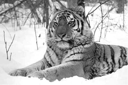 Всем тиграм – по паспорту
