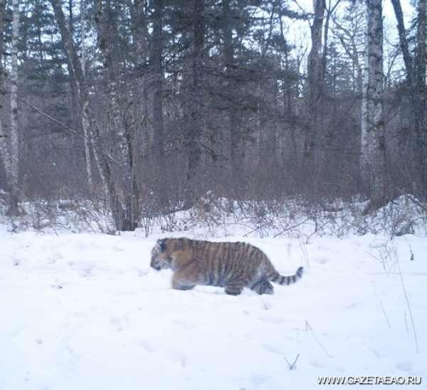 Тигрята подрастают - Кадр из фотоловушки
