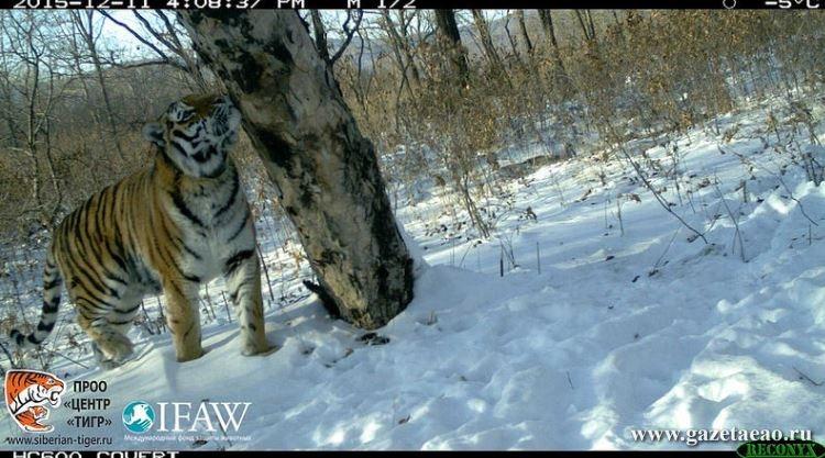«Бобр»  за тиграми присмотрит - Тигрица Светлая