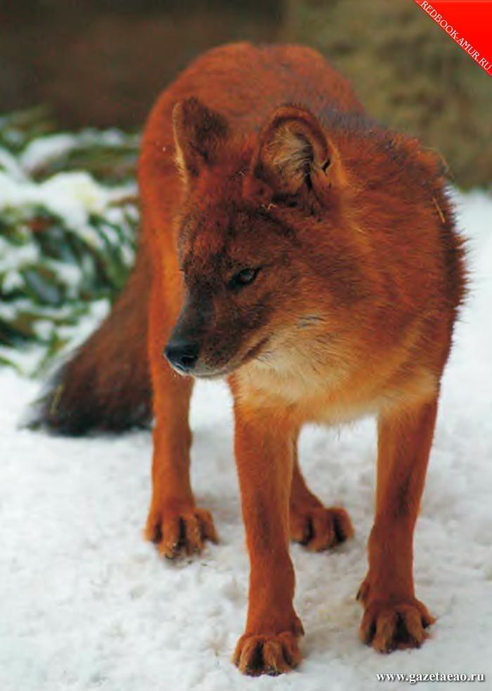 Есть еще красные волки