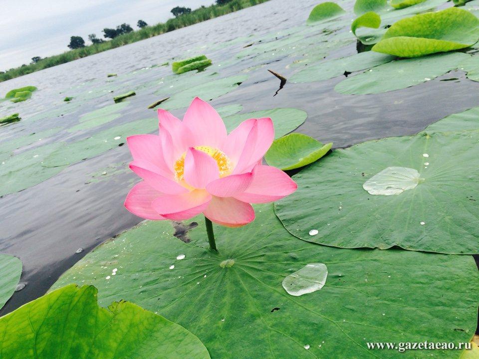 Лотос — розовое чудо природы
