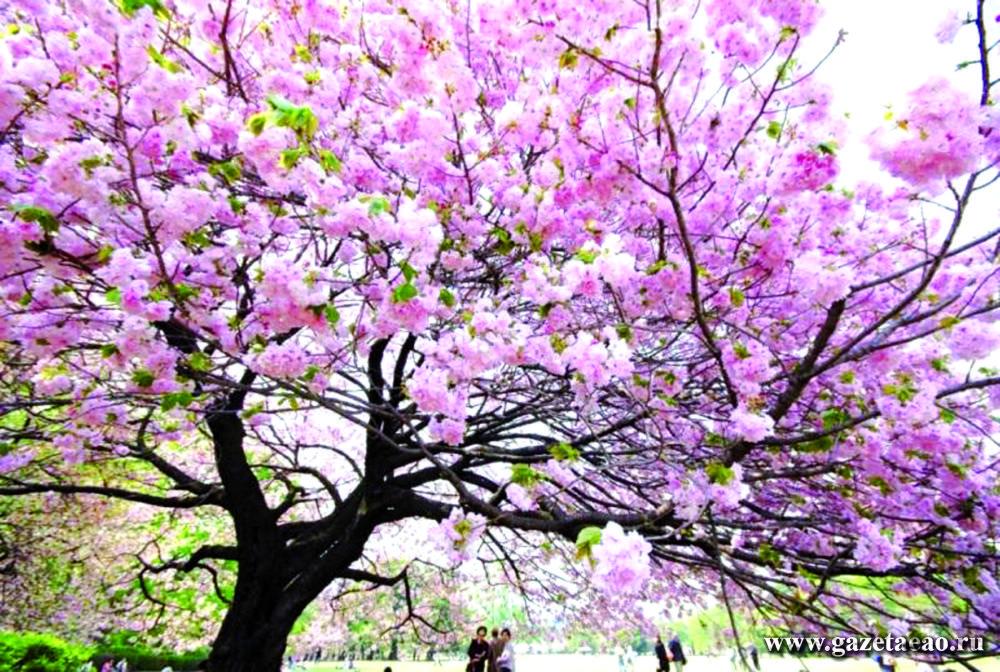 В городе-побратиме - Цветущая сакура