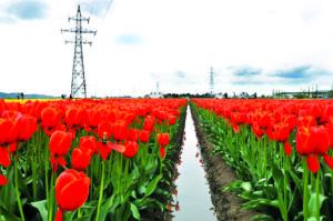 Тюльпаны Ниигаты