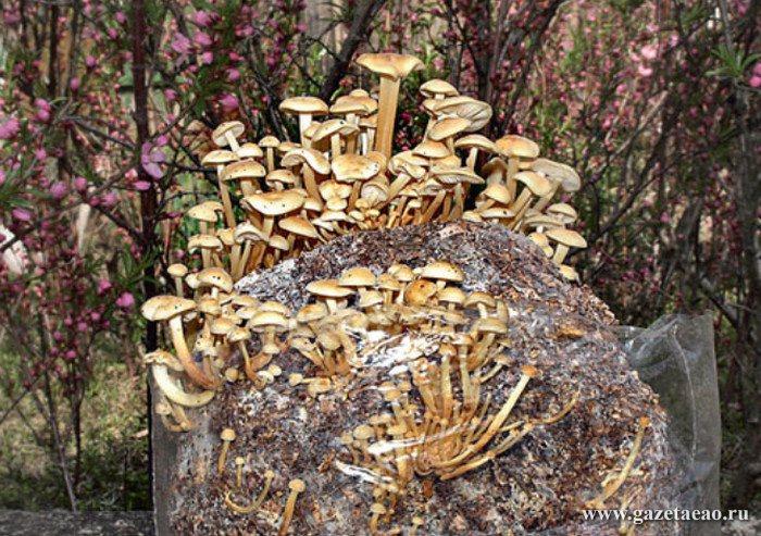 В программу импортозамещения включат грибы