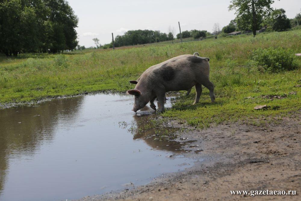 Меняю корову на свинью