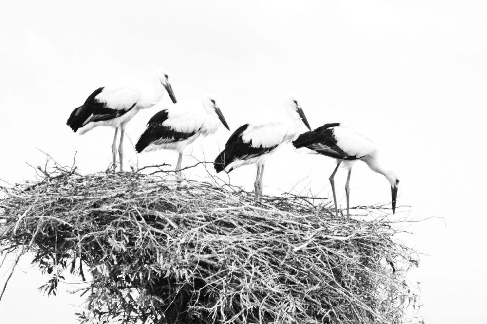 Летят перелетные птицы… - Дальневосточный  аист. Александр Клименко. WWF России