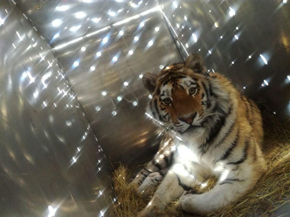 В ЕАО восстановлена  популяция тигров