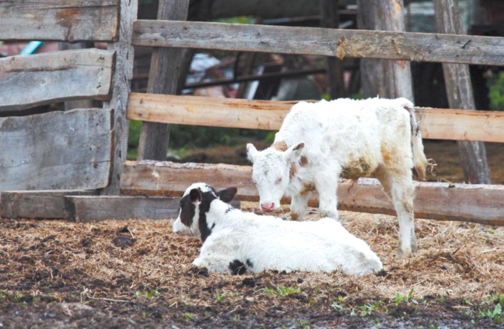 Кушать продано - Молочно-мясным надеждам АПК ЕАО расти ещё долго