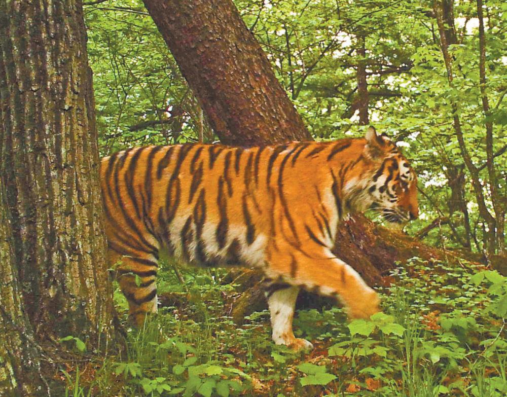 СВИНАЯ ЧУМА коснулась тигров?