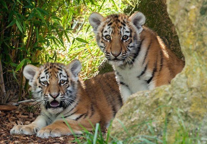 В 2019 году Россельхозбанк перечислил более 10 млн рублей на проекты по защите амурского тигра